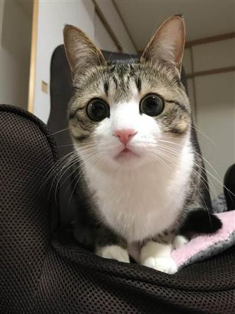 超インスタ映え猫!すずめ、大手芸能事務所入りし芸能界デビュー